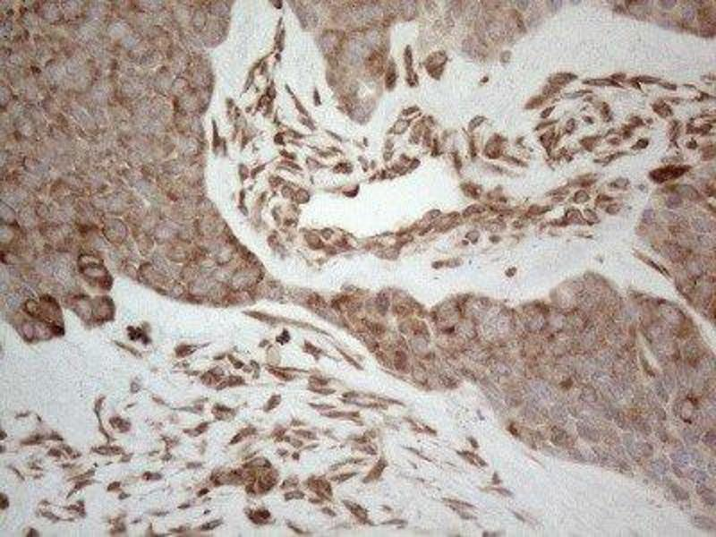 Immunohistochemistry (IHC) image for anti-RNA Binding Motif, Single Stranded Interacting Protein 1 (RBMS1) 抗体 (ABIN4349648)