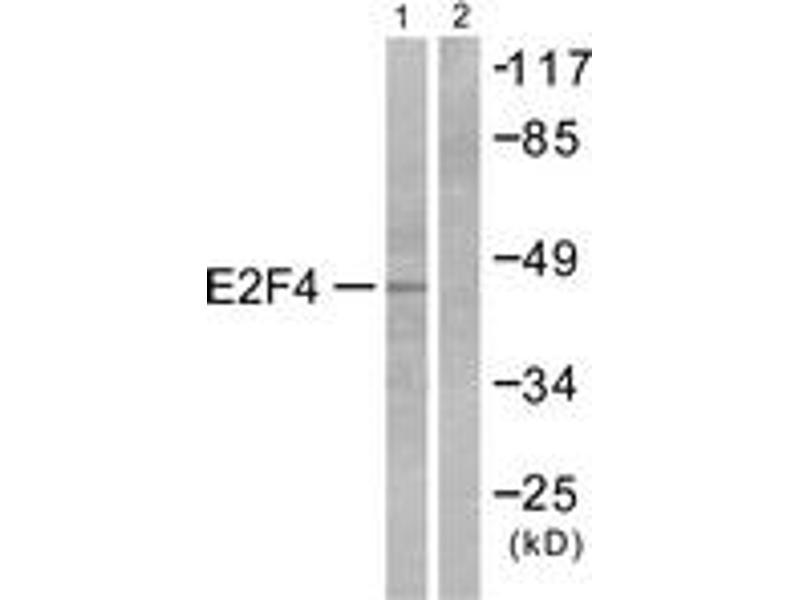 Western Blotting (WB) image for anti-E2F Transcription Factor 4, P107/p130-Binding (E2F4) (AA 51-100) antibody (ABIN1533259)