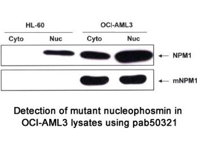 image for anti-Nucleophosmin (Nucleolar phosphoprotein B23, Numatrin) (NPM1) (AA 250-298), (C-Term) antibody (ABIN1737584)