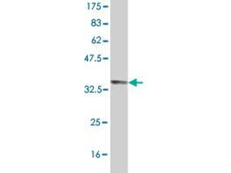 Western Blotting (WB) image for anti-MFNG (MFNG) (AA 214-292) antibody (ABIN395334)