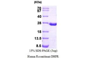 Image no. 1 for Dihydrofolate Reductase (DHFR) (Active) protein (His tag) (ABIN1525856)