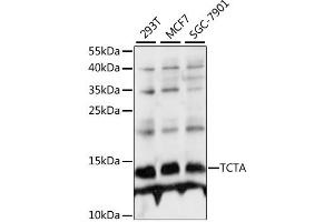 Image no. 1 for anti-T-Cell Leukemia Translocation Altered (TCTA) antibody (ABIN6568647)