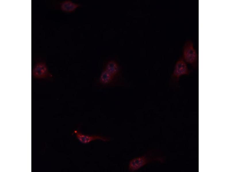 Immunofluorescence (fixed cells) (IF/ICC) image for anti-Kininogen 1 (KNG1) antibody (ABIN6262859)