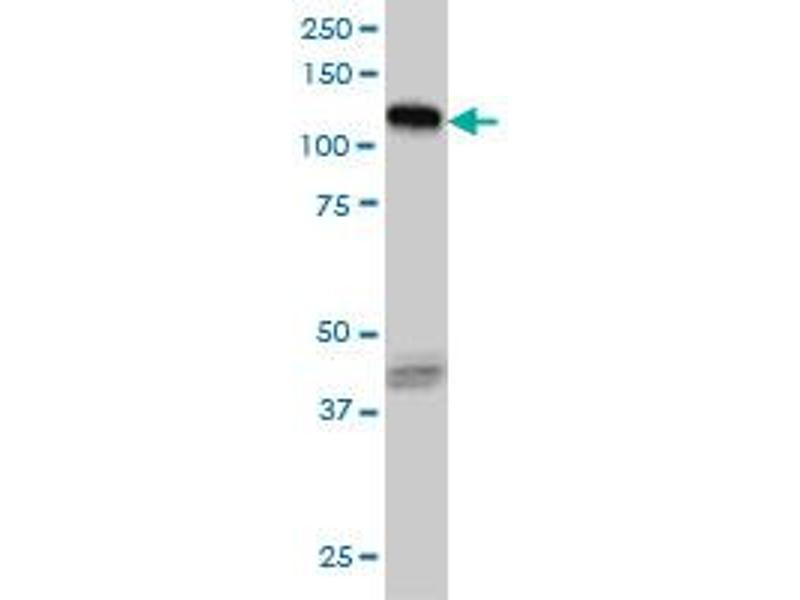 Western Blotting (WB) image for anti-EPH Receptor B3 (EPHB3) (AA 899-997), (partial) antibody (ABIN560764)