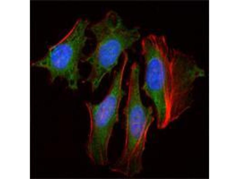 Immunocytochemistry (ICC) image for anti-Clock Homolog (Mouse) (CLOCK) antibody (ABIN969059)