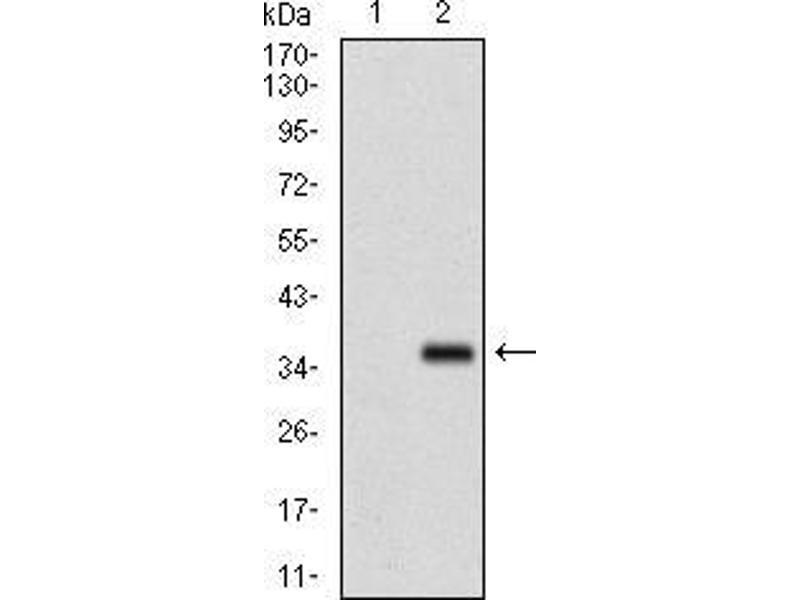 Western Blotting (WB) image for anti-Fibroblast Growth Factor 4 (FGF4) (AA 62-123) antibody (ABIN1724834)