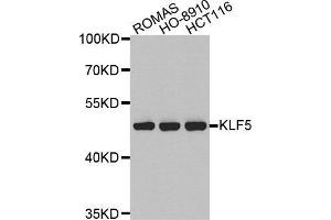 Image no. 1 for anti-Kruppel-Like Factor 5 (Intestinal) (KLF5) antibody (ABIN3023448)
