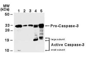 image for anti-Caspase 3, Apoptosis-Related Cysteine Peptidase (CASP3) antibody (ABIN957187)
