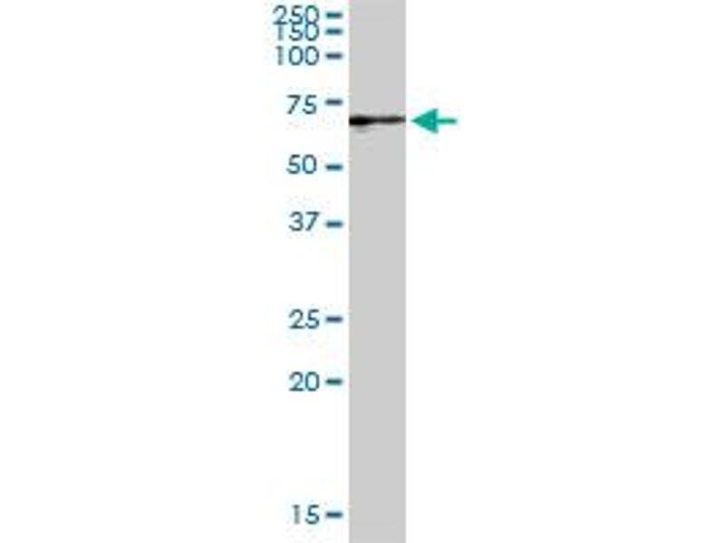 Western Blotting (WB) image for anti-Guanylate Binding Protein 2, Interferon-Inducible (GBP2) (AA 1-591), (full length) antibody (ABIN947906)