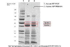 SDS-PAGE (SDS) image for Apyrase (RROP1) (Active) protein (ABIN3170546)