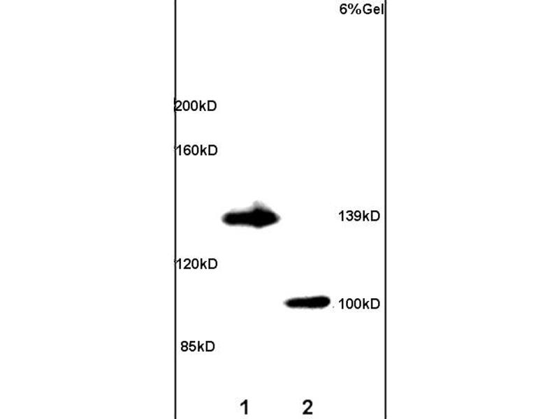 SDS-PAGE (SDS) image for anti-Adenylate Cyclase 5 (ADCY5) antibody (ABIN751183)