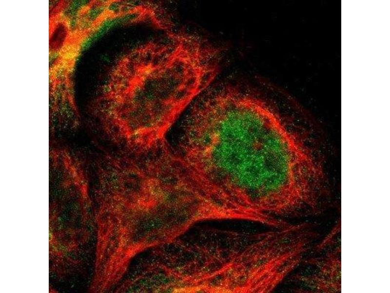 Immunofluorescence (IF) image for anti-Baculoviral IAP Repeat Containing 3 (BIRC3) antibody (ABIN4298725)