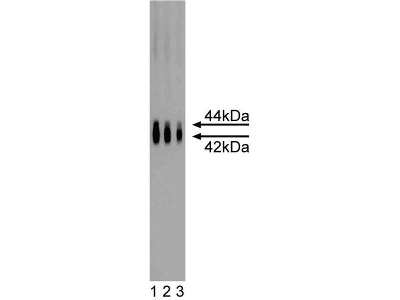 Western Blotting (WB) image for anti-MAPK3 antibody (Mitogen-Activated Protein Kinase 3) (AA 325-345) (ABIN967952)