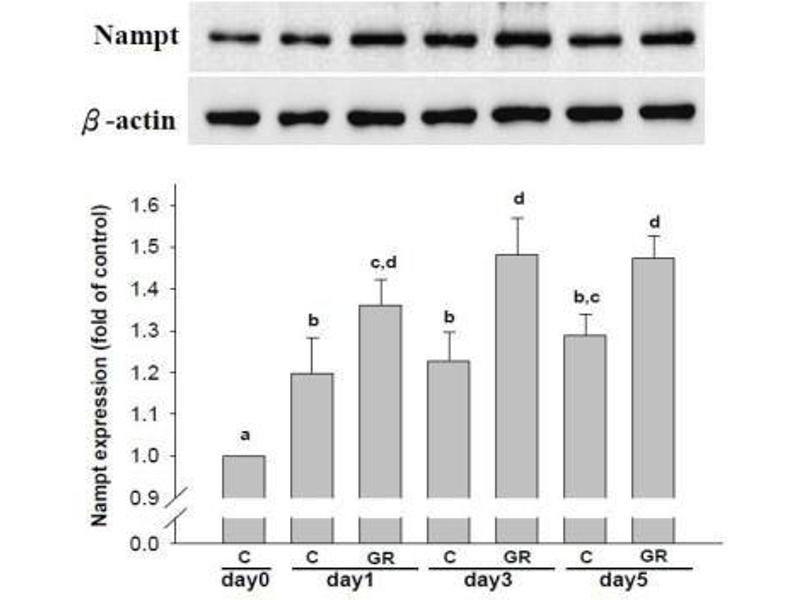 Image no. 6 for anti-Actin, beta (ACTB) (N-Term) antibody (ABIN153386)
