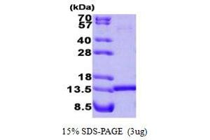 Image no. 1 for Histidine Triad Nucleotide Binding Protein 1 (HINT1) (AA 1-126) protein (ABIN667109)