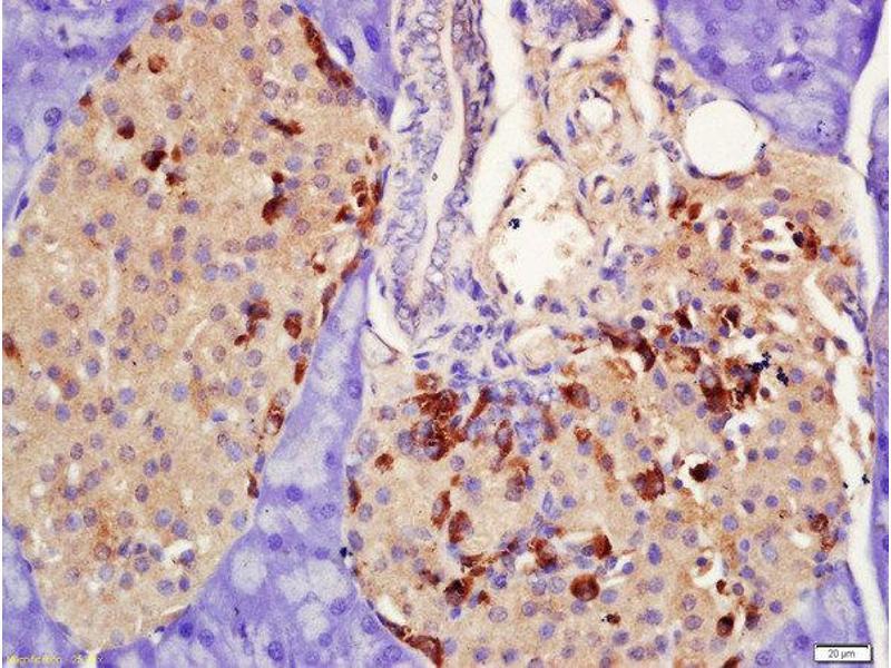 Immunohistochemistry (Paraffin-embedded Sections) (IHC (p)) image for anti-Prolactin Receptor (PRLR) (AA 270-305) antibody (ABIN1387937)