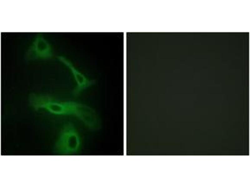 Immunofluorescence (IF) image for anti-Clusterin antibody (CLU) (ABIN1534432)