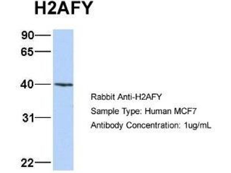 Western Blotting (WB) image for anti-Histone H2AY/macroH2A.1 (N-Term) antibody (ABIN4890087)
