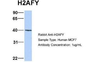 Western Blotting (WB) image for anti-Histone H2AY/macroH2A.1 (N-Term) antibody (ABIN4890087)