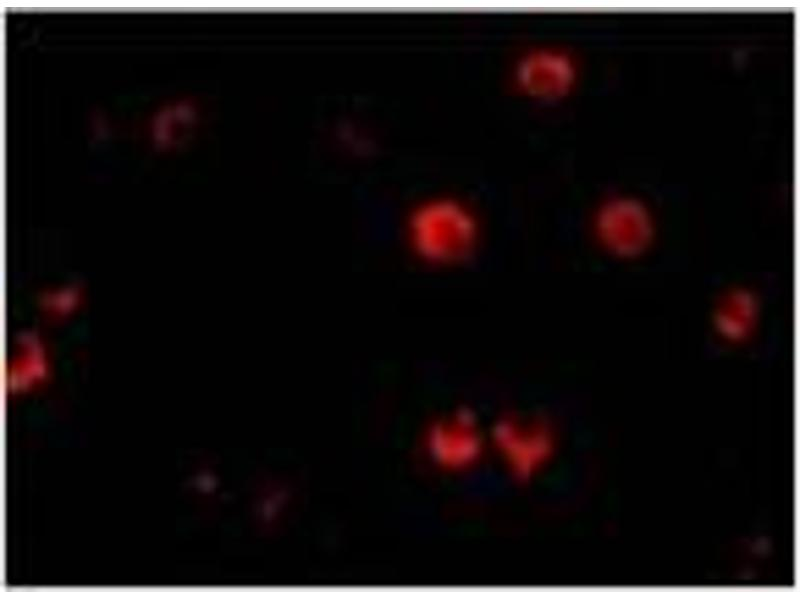 Immunofluorescence (IF) image for anti-AES antibody (Amino-terminal Enhancer of Split) (N-Term) (ABIN499227)