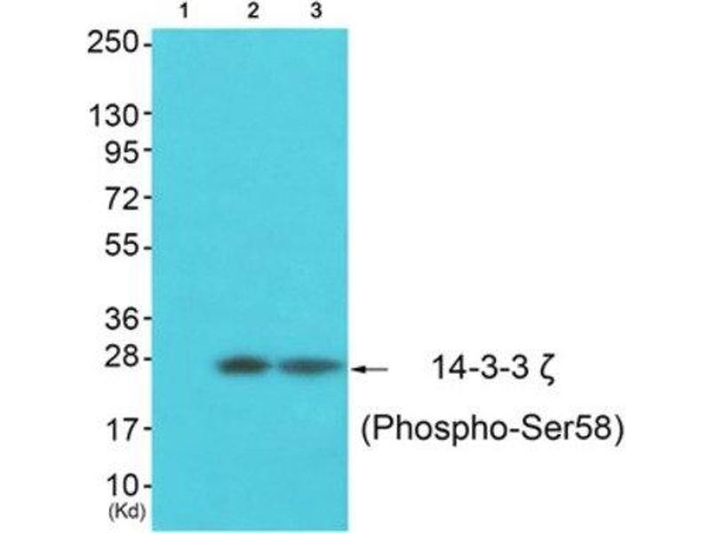 Western Blotting (WB) image for anti-tyrosine 3-Monooxygenase/tryptophan 5-Monooxygenase Activation Protein, zeta Polypeptide (YWHAZ) (pSer58) antibody (ABIN1847200)