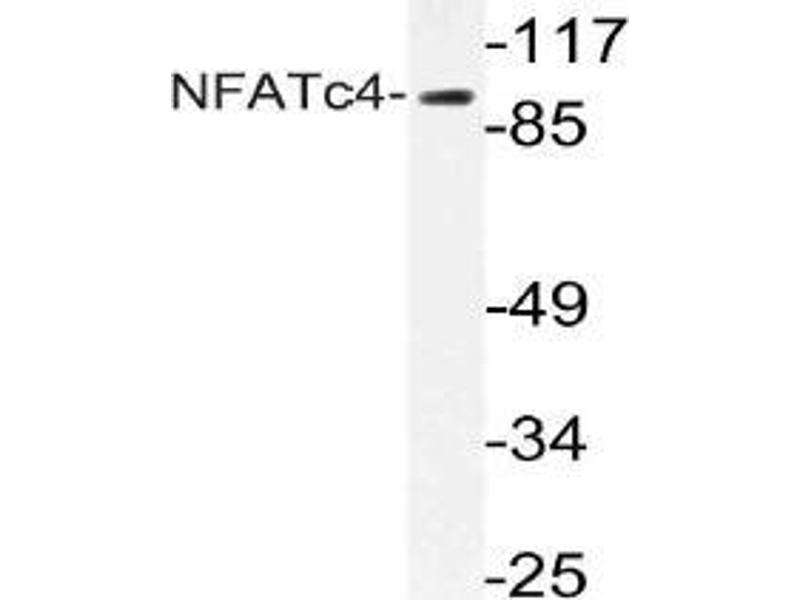 Western Blotting (WB) image for anti-Nuclear Factor of Activated T-Cells, Cytoplasmic, Calcineurin-Dependent 4 (NFATC4) antibody (ABIN498951)
