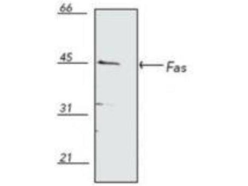 Western Blotting (WB) image for anti-Fas (TNF Receptor Superfamily, Member 6) (FAS) antibody (ABIN266061)