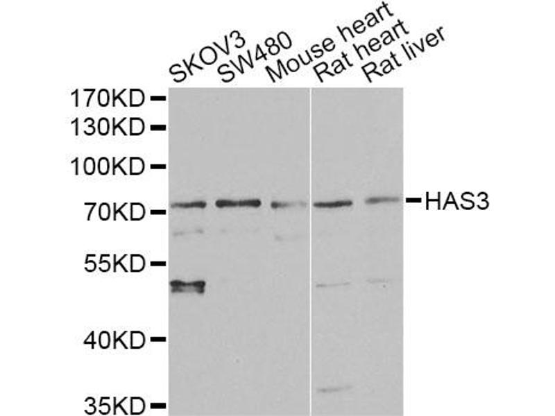 Image no. 1 for anti-Hyaluronan Synthase 3 (HAS3) antibody (ABIN6568006)