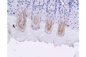 Image no. 1 for anti-Glucagon-like peptide 1 (GLP-1) antibody (ABIN724025)