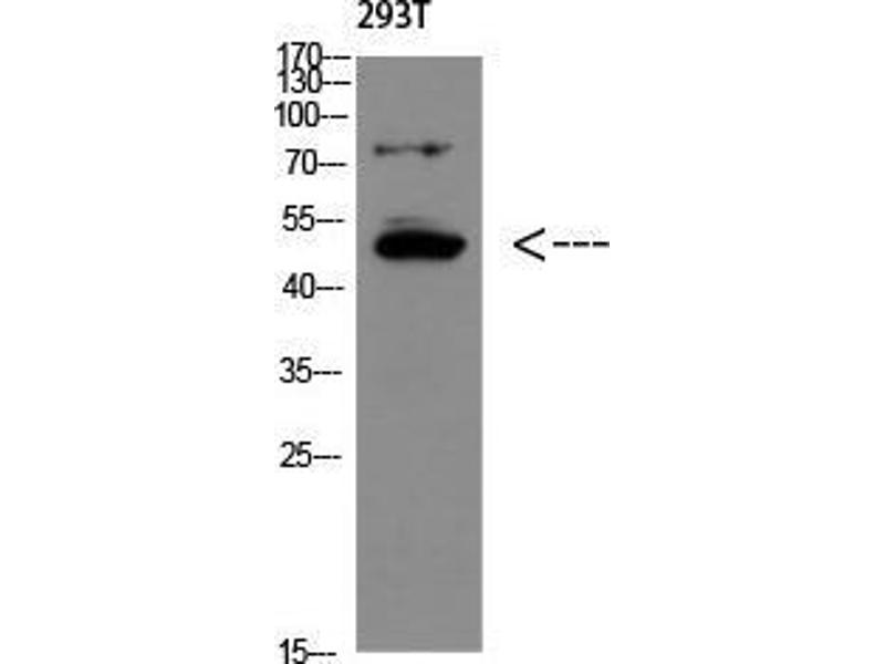 Western Blotting (WB) image for anti-Growth Differentiation Factor 6 (GDF6) (Internal Region) antibody (ABIN3181490)