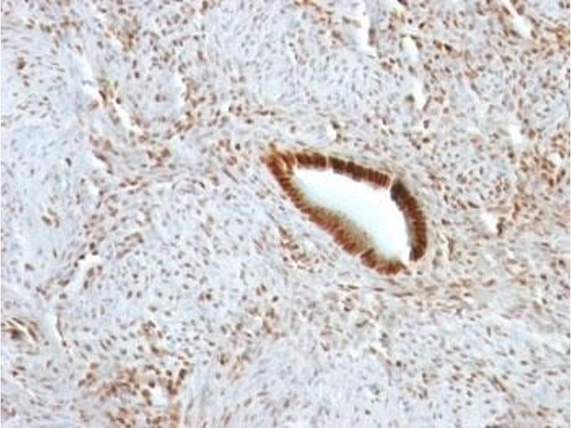Image no. 9 for anti-Nucleolin (NCL) antibody (ABIN3025707)