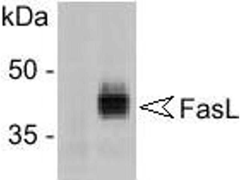 Western Blotting (WB) image for anti-FASL antibody (Fas Ligand (TNF Superfamily, Member 6)) (ABIN187289)