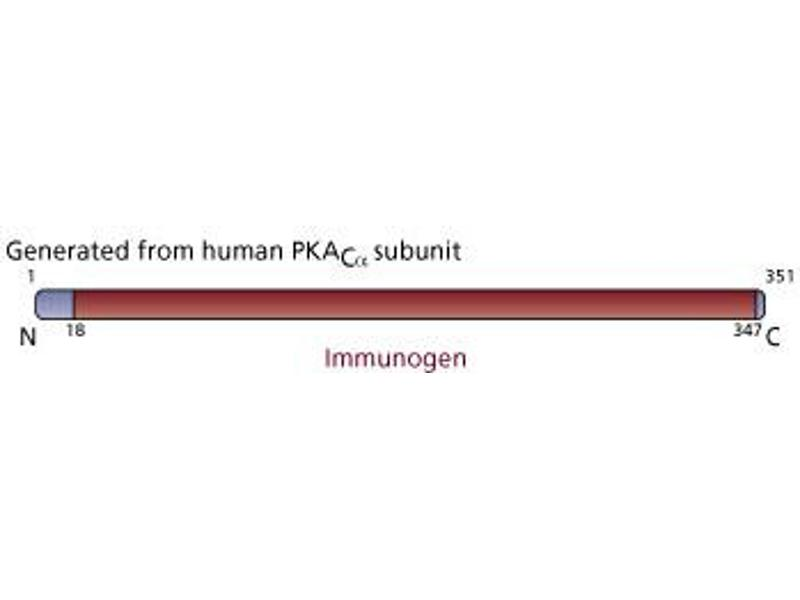 image for anti-Protein KINase Family Member (Kin-1) (KIN-1) (AA 18-347) antibody (ABIN968293)
