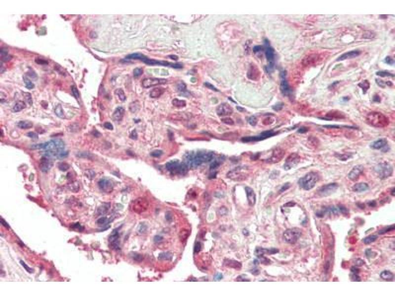 Image no. 3 for anti-Presenilin Enhancer 2 Homolog (C. Elegans) (PSENEN) (N-Term) antibody (ABIN461899)