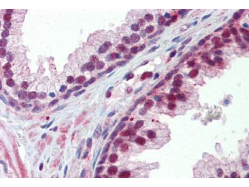 Immunohistochemistry (Paraffin-embedded Sections) (IHC (p)) image for anti-Nuclear Receptor Subfamily 0, Group B, Member 2 (NR0B2) (AA 110-159) antibody (ABIN6741607)