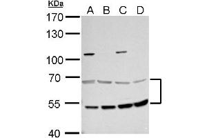 Image no. 2 for anti-Malonyl CoA Decarboxylase (MLYCD) (Internal Region) antibody (ABIN2856728)