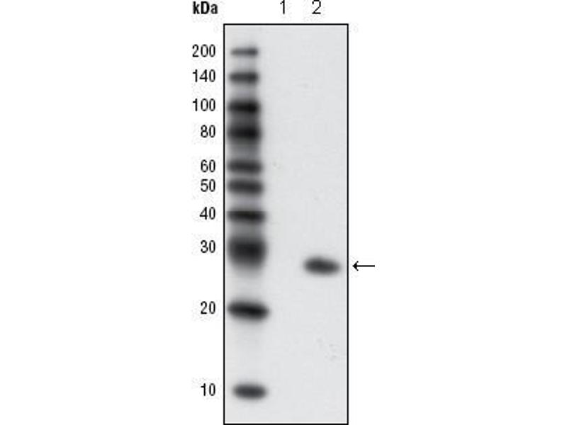 Western Blotting (WB) image for anti-Green Fluorescent Protein (GFP) antibody (ABIN3210020)