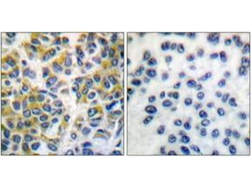 Immunohistochemistry (IHC) image for anti-Protein-tyrosine Phosphatase 1C (PTPN6) (AA 502-551) antibody (ABIN1532211)