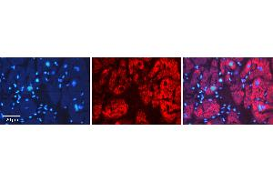 Image no. 4 for anti-Apoptosis-Inducing Factor, Mitochondrion-Associated, 1 (AIFM1) (C-Term) antibody (ABIN2778665)