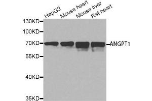 Western Blotting (WB) image for anti-Angiopoietin 1 antibody (ANGPT1) (ABIN4902908)