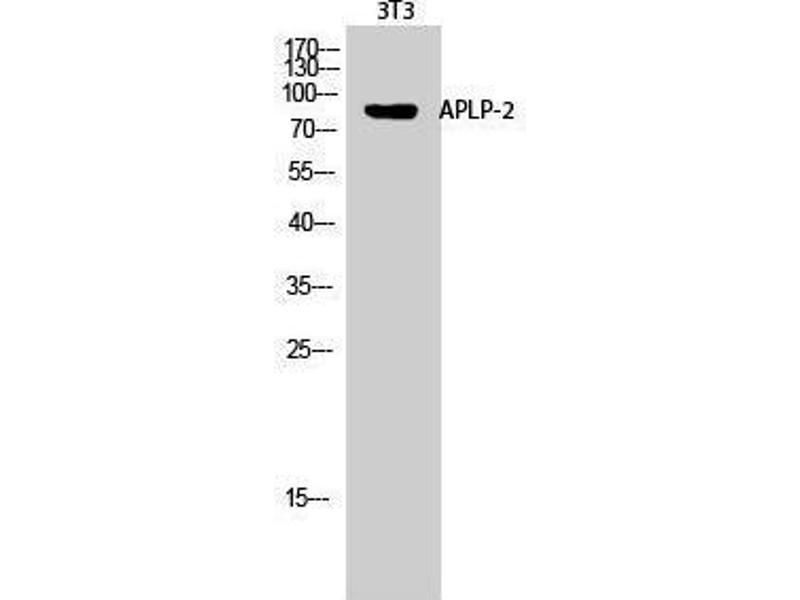 Western Blotting (WB) image for anti-Amyloid beta (A4) Precursor-Like Protein 2 (APLP2) (Internal Region) antibody (ABIN3183319)