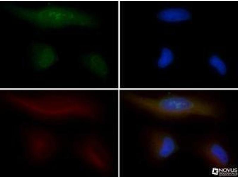 Immunocytochemistry (ICC) image for anti-Polymerase (RNA) II (DNA Directed) Polypeptide A, 220kDa (POLR2A) (C-Term), (Large Subunit) antibody (ABIN268311)