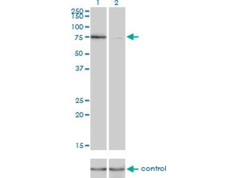 Western Blotting (WB) image for anti-KIF2C antibody (Kinesin Family Member 2C) (AA 1-100) (ABIN564770)