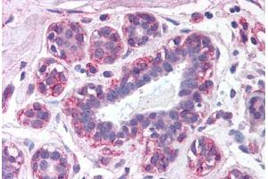 Immunohistochemistry (Paraffin-embedded Sections) (IHC (p)) image for anti-Leptin antibody (LEP) (ABIN214037)