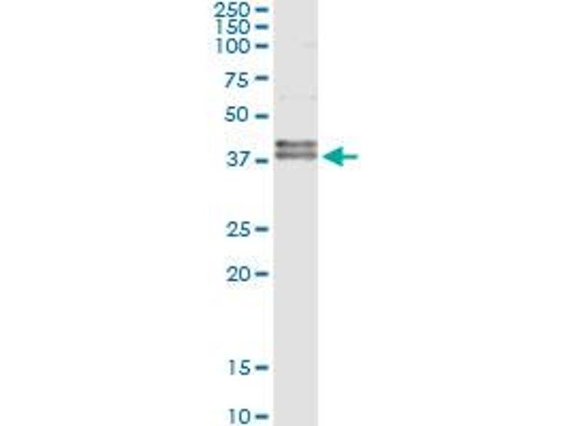 Immunoprecipitation (IP) image for anti-FAS antibody (Fas (TNF Receptor Superfamily, Member 6)) (AA 20-119) (ABIN513435)