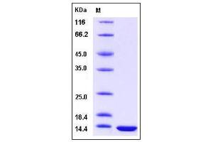 Image no. 1 for Fatty Acid Binding Protein 3, Muscle and Heart (FABP3) (AA 1-133) protein (ABIN2005235)