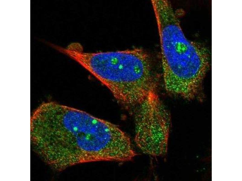 Immunofluorescence (IF) image for anti-Mucolipin 3 (Mcoln3) antibody (ABIN4336725)