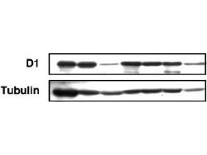 Western Blotting (WB) image for anti-Melanoma Antigen Family D, 1 (MAGED1) (AA 1-775) antibody (ABIN2452045)
