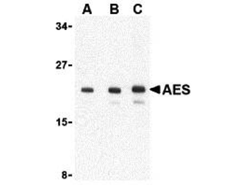 Western Blotting (WB) image for anti-AES antibody (Amino-terminal Enhancer of Split) (C-Term) (ABIN2155084)
