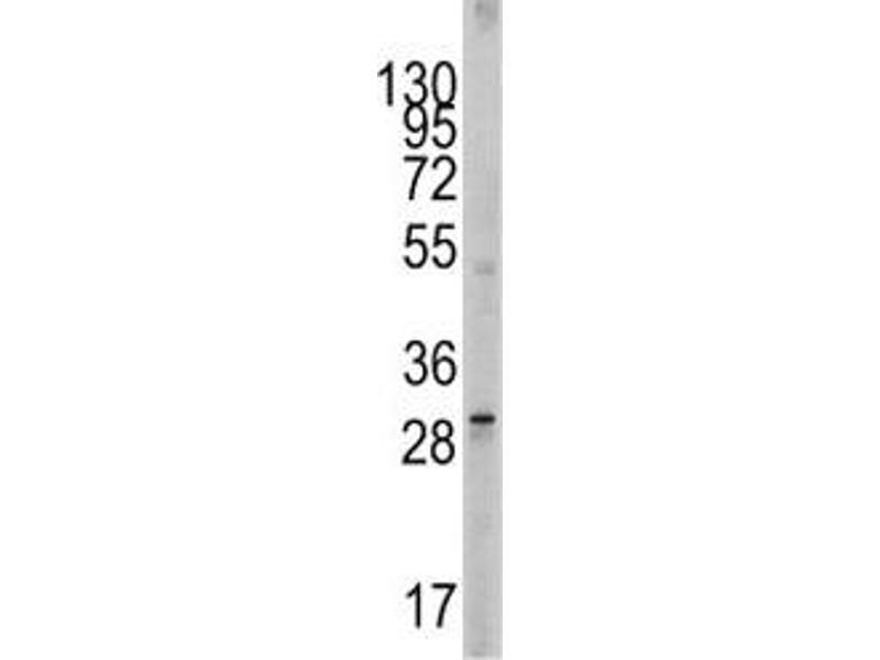 Western Blotting (WB) image for anti-KIT Ligand antibody (KITLG) (AA 244-273) (ABIN3031561)